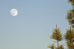 Full moon and fir tree. Full moon in detail and fir tree Stock Photo