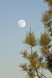 Full moon and fir tree Royalty Free Stock Image