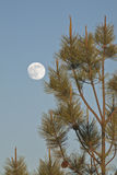 Full moon and fir tree Stock Photo