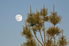 Full moon and fir tree. Full moon in detail and fir tree Royalty Free Stock Photos