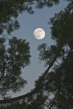 Full moon and fir tree. Full moon in detail and fir tree Royalty Free Stock Photo