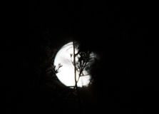Full moon hides behind the trees Royalty Free Stock Image