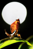 Full moon mantis Stock Photography