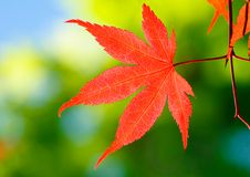 Full-moon Maple Royalty Free Stock Images