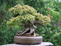 Full moon maple bonsai Royalty Free Stock Images