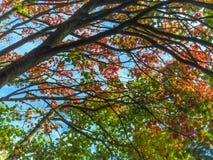 Full moon maple 2. Under the full moon maple tree 2 stock photo