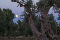 The full moon between olive trees Royalty Free Stock Images