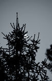 Full moon in the pine forest Stock Photography