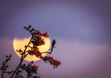 Full moon rhododendron black drongo. Black drongo sitting on rhododendron in background of full moon evening sky dusk color stock image
