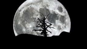 Full moon rising over silhouette of dry tree. Full moon rising over the horizon and a silhouette of a dried tree are seen isolated on a black background. High stock video footage