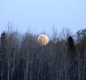 Full moon rising. Over the tree tops royalty free stock image