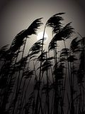 Moon in the rushes Stock Images