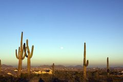 Full Moon and Saguaros. A group of saguaro cactus stands with a full moon at sunset in arizona Royalty Free Stock Photo