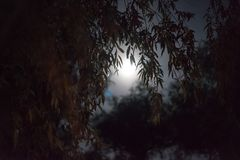 Full moon willow Royalty Free Stock Images