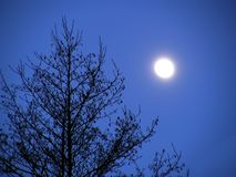 Almost full moon and tree. Night background, moonlight evening with moon and tree royalty free stock image