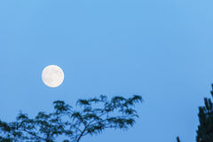 Full moon and tree, copy space, blue hour, evening sky Stock Images