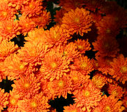 Full of Mums. Frame filling mums in the autumn sunlight stock photography