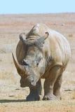 full noshörning för afrikansk huvuddelkamera som stirrar white Fotografering för Bildbyråer