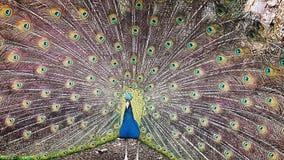 Full påfågel arkivfoton