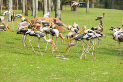 Full of Painted Stork (Mycteria leucocephala ) birds. Compete for the fish royalty free stock images