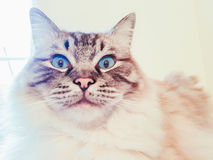 Full pedigree Ragdoll cat looking shocked and suprised portrait. Full pedigree Ragdoll cat with large blue eye& x27;s looking straight at the camera with a Royalty Free Stock Photography
