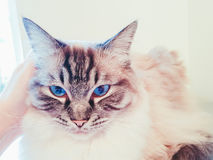 Full pedigree Ragdoll cat portrait. Stock Photos