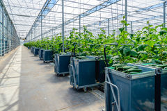 Full picking carts at a specialized nursery of cucumbers. Filled harvest carts in the gangway of a Dutch glasshouse horticultural industry specialized in organic Stock Photography