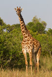 Full portrait of a giraffe Royalty Free Stock Image