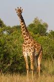 Full portrait of a giraffe Royalty Free Stock Image