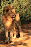 Full portrait of a young Male lion looking left. Full portrait of a young male lion standing looking to the left stock photography
