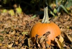 Full Pumpkin Stock Image