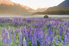 Full of purple lupine blossom with mountain background, New Zealand stock photo