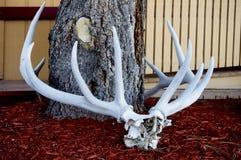 Full rack of elk antlers lay on display. stock image