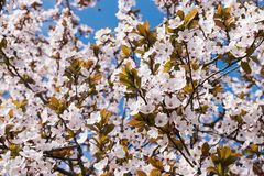 Full ram av för vår som rosa blommor försiktigt blommar på filialer av träd och synlig blå himmel royaltyfri fotografi