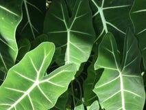 Full ram av ljus - gräsplansidor av växten för elefantöra Royaltyfria Foton