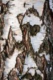 Full ram för Closeup av en naturlig vit björk med det spruckna skället och den abstrakta modellen arkivfoto