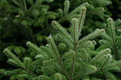 Full ram för vintergrön julgran Royaltyfria Foton