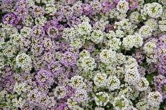Full ramklunga av purpurfärgade och vita alyssumblommor royaltyfria foton