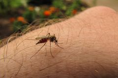 Full of red blood gnat or mosquito macro royalty free stock image