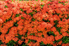 Full of red Ixora coccinea flowers Stock Image