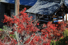 Full red leaves in japan garden at Kyoto, Royalty Free Stock Photography