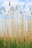 Reed stems against the sky Stock Photography