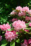 Full rhododendron Royalty Free Stock Image
