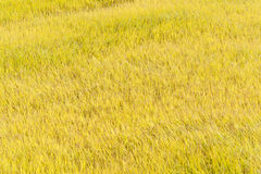 Full ripen golden rice paddy in autumn Royalty Free Stock Photos