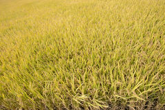 Full ripen golden rice paddy in autumn Stock Photos