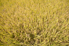 Full ripen golden rice paddy in autumn Royalty Free Stock Images