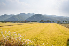 Full ripen golden rice paddy in autumn Stock Photo