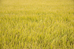 Full ripen golden rice paddy in autumn Royalty Free Stock Photo