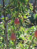 Full ripen pears on the pear tree Stock Images