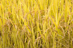 Full ripen rice in autumn Stock Photo